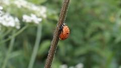 Harlequin Ladybird pupa (Nick:Wood) Tags: insect ladybird ladybug nature wildlife knowle solihull harmoniaaxyridis harlequinladybird