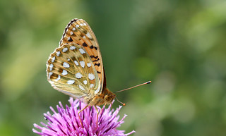 Dark Green Fritillary!