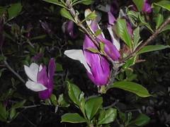 1336 (en-ri) Tags: magnolia sony sonysti viola bianco albero tree foglie leaves