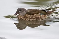 Mandarin Duck, Aix galericulata (Kevin B Agar) Tags: adeldam aixgalericulata britishbirds mandarinduck