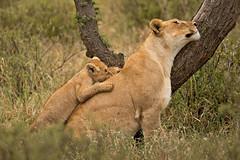 Lions of Maasai Kopjes 408 (Grete Howard) Tags: bestsafarioperator bestsafaricompany africa africansafari africanbush africananimals whichsafaricompany whichsafarioperator tanzania serengeti animals animalsofafrica animalphotos lions lioncubs maasaikopjes kopjes kopje