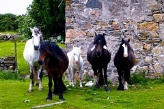 Five horses and a derelict cottage (rustyruth1959) Tags: nikon nikond3200 tamron16300mm scotland sutherland highland bettyhill torrisdale rivernaver horses animals building outdoor croft cottage grass