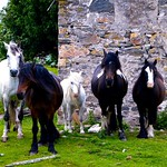 Five horses and a derelict cottage thumbnail