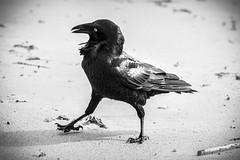 Raven, Sydney 2011  #3926 (lynnb's snaps) Tags: 2011 550d longreef beach birds digital nature sydney canon550d canonef70200mmf4lis canonef14xteleconverter bw blackandwhite bianconero bianconegro blackwhite biancoenero noiretblanc raven ravens australianraven