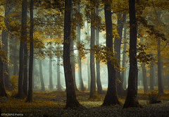 Trees party! (pat.thom974) Tags: forest fog trees yellow mood atmosphere light leaves autumn