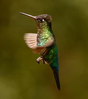 Colibri insigne - Fiery-throated Hummingbird