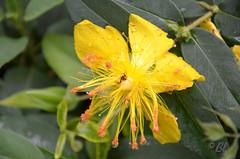 """Le millepertuis après la pluie (Brigitte .. . """"Tatie Clic"""") Tags: 201760332 juin printemps fleur fleurdujardin jaune millepertuis insecte sansretouche macro flou bokeh"""