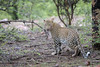 Do Not Disturb (kishorebhargava) Tags: india indianleopard ranthambhore ranthambhoretigerreserve