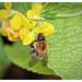 Bee on Bird's-Foot Trefoil