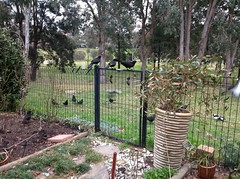 Choughs, magpies and Currawongs (spelio) Tags: birds choughs magpie wildlife cracticines corvidae chough
