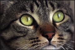 Mushi. (anna punx) Tags: cat gato animal tiger atigrado tabby m greeneyes ojos verdes rayas stripes big portrait