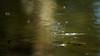 Széleslábú szitakötő (Cinnogo) Tags: whiteleggeddamselfly damselfly dragonfly insect flyinginsect smileonsaturday crazycouples