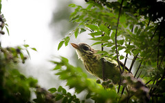 Camera Shy (!cem@n) Tags: bird white cheeked barbet green branch leaf beak wings sky feed fruit d5100 fly