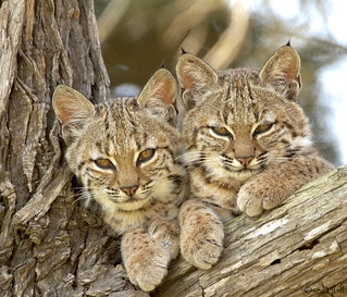 BOBCAT SIBLINGS