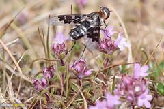 Mottled bee-fly thyme (Dom Greves) Tags: dorset heathland insect invertebrate june mottledbeefly purbeck summer thyridanthraxfenestratus uk wildlife nectaring feeding behaviour