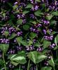 58286.01 Lamium maculatum (horticultural art) Tags: horticulturalart lamiummaculatum lamium flowers