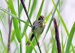 Reed Bunting (gillybooze (David)) Tags: ©allrightsreserved bird reeds birdwatcher reedwarbler outdoor bokeh plant dof insect