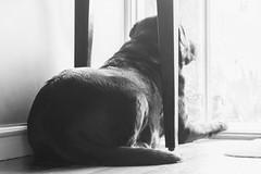 Week 28 /52 - on the floor {049 in 100x - 50mm 1.8} (jettebaltzer) Tags: 52weekproject 50mm18 100x2017 dog blackandwhite onthefloor