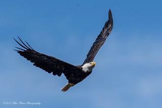 American Bald Eagle ©