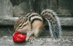 Little chipmunk eating a strawberry top (♥Oxygen♥) Tags: chipmunk cute furry mammal strawberry animal little nature rodent small wildlife eating smallmammal adorable closeup fruit striped wild baby young eat tree stump brown forest fur park stripes fence bark bend eastern grand hair lambton log pinery provincial squirrel striatus tamias trunk united outdoors trail treebranch wildanimal russia siberia wood ngc