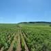 Route des Grands Crus - Chambolle-Musigny to Vougeot