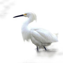 In a dream (John's Love of Nature) Tags: johnkelley snowyegret egrettathula ethereal