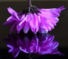 Chrysanthemum (Joan's Pics 2012) Tags: chrysanthemum bottomsup pink flower macromonday upsidedown