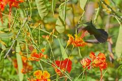 Lesser Antillean Crested Hummingbird (ronmcmanus1) Tags: antigua bird nature outdoors wildlife jollyharbour stmarysparish antiguabarbuda