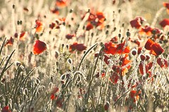 Morning poppies (Xtraphoto) Tags: bokeh drew morninglight morgenlicht morning red rot mohnblume mohn poppies poppy