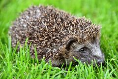 Hedgehog! (Explored) (Spectacle Photography) Tags: hedgehog wild erinaceinae uk wales wildlife rescue rehabilitate release explore explored