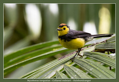 Collared redstart (Jan H. Boer, Nature photographer) Tags: myioborustorquatus collaredredstart halsbandzanger birds warblers nature wildlife costarica sangerardodedota highlands nikon d5200 afsnikkor200500f56eedvr jan´sphotostream2017