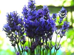 levendula csokor / lavender bouquet (debreczeniemoke) Tags: nyár summer kert garden növény plant virág flower levendula lavender lavande lavendel lavanda levănțică lavandulaangustifolia olympusem5