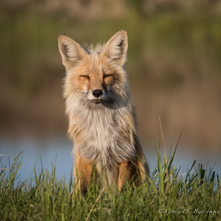 Northern Plains Red Fox - Female