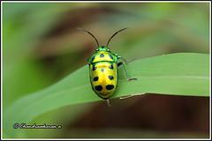 7016 - jewel bug (chandrasekaran a 40 lakhs views Thanks to all) Tags: jewelbug greenjewelbug insects india nature chennai canon60d tamron90mm