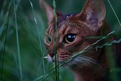 Lizzie in the grass (DizzieMizzieLizzie) Tags: abyssinian aby beautiful wonderful lizzie dizziemizzielizzie portrait cat chats feline gato gatto katt katze katzen kot meow mirrorless pisica sony a6500 sigma animal pet