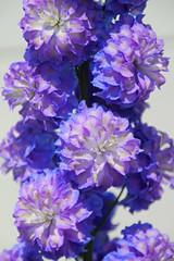 Hampton Court Flower Show - Delphinium (Lark Ascending) Tags: delphinium double bloom blossom flower blue lilac mauve plant hamptoncourt flowershow rhs