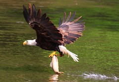 bald eagle catching brown trout at Decorah Prairie IA 854A9081 (lreis_naturalist) Tags: bald eagle catching brown trout upper iowa river decorah prairie winneshiek county larry reis