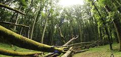 Faggeta dei Monti Cimini: una passeggiata nel bosco patrimonio dell'UNESCO (Cudriec) Tags: faggeta luoghinaturalistici monticimini natura passeggiate patrimoniodell'umanitàunesco sentieri sorianonelcimino tuscia unesco unitus viterbo
