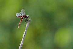1420 (ronmcmanus1) Tags: antigua bird nature outdoors wildlife jollyharbour stmarysparish antiguabarbuda