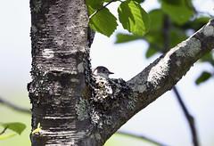 Asian Brown Flycatcher (ogawa san) Tags: asianbrownflycatcher hokkaidou bird wildbird bequiet outdoor niseko japan