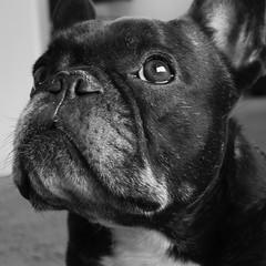 06-04-17 (2779) Mug Shot (Lainey1) Tags: 060417 2779 2779oz 365 theeighthyear raw oz ozzy dog frenchie bulldog lainey1 elainedudzinski frogdog zendog frenchbulldog ozzythefrenchie bw monochrome leica leicadlux4