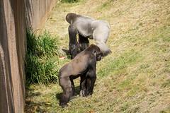 2017-06-05-10h37m50.BL7R6889 (A.J. Haverkamp) Tags: bokito canonef100400mmf4556lisiiusmlens nasibu rotterdam zuidholland netherlands zoo dierentuin blijdorp diergaardeblijdorp httpwwwdiergaardeblijdorpnl gorilla westelijkelaaglandgorilla dob01042007 pobfrankfurtgermany dob14031996 pobberlingermany nl