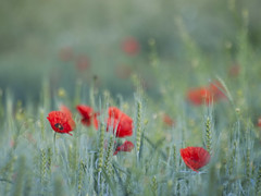 Tableau champêtre **---+--° (Titole) Tags: poppies titole nicolefaton red flowers field barley thechallengefactory 15challengeswinner challengeyouwinner cyunanimous