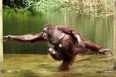 Wattana and baby Baju (K.Verhulst) Tags: wattana baju ape mensaap orangoetan apenheul apeldoorn apen monkeys orangutan