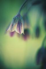 shine a light on you (christian mu) Tags: macro bokeh flowers nature germany meunster münster botanischergarten botanicalgarden sony sonya7ii 90mm 9028g 9028 christianmu schlossgarten