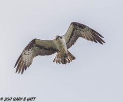 Osprey (orencobirder) Tags: birds flickrexport flight hawks largebirds