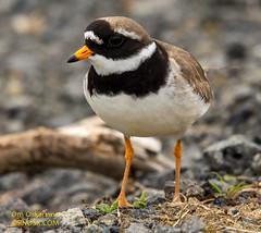 Sandlóa - Ringed Plover - Charadrius hiaticula (raudkollur) Tags: ísland iceland birds fuglar sandlóa ringedplover charadriushiaticula nikond7200 nikkor200500mm