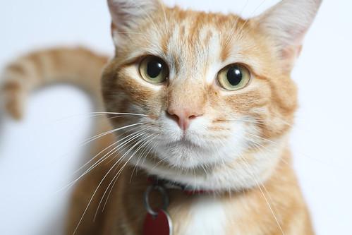 A188989 -- Tico -- orange cat