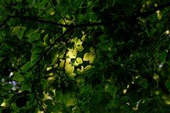 Blattwerk (malp007) Tags: wald forest woods blatt light licht spot lightspot lowlight tree baum træ skov nature blickwinkel