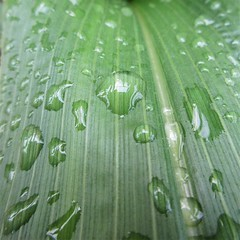 "Sweetcorn foliage (JulieK (thanks for 8 million views)) Tags: hmm macromondays ""drips dropsandsplashes"" green foliage waterdroplet texture squareformat canoneos100d polytunnel"